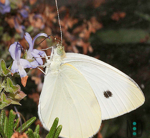 What Does the Cabbage White Butterfly and Caterpillar Look Like and How To Get Rid of Them