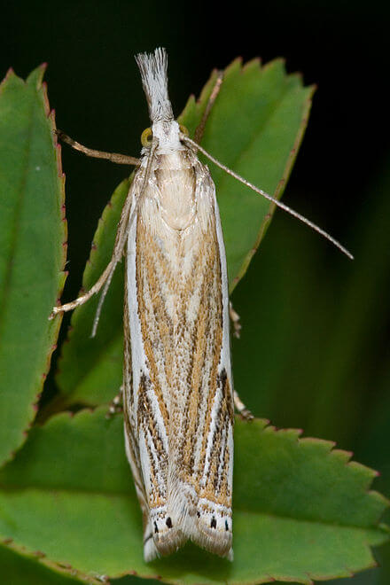 Common Lawn Pests - Sod Webworm Moth