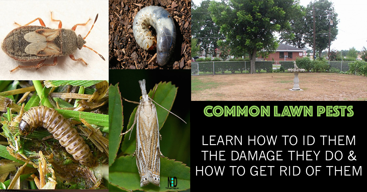 Common Lawn Pests - Disease and grass insect pests can be prevented or cured by following a few basic steps. ID your insect.