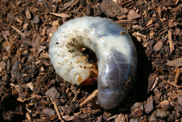 how to kill white grubs in lawn