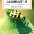 Cucumber Beetles How to Get Rid of Them