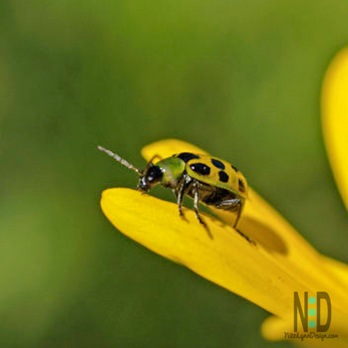 What a Cucumber Beetle Looks Like and How to Get Rid of Them