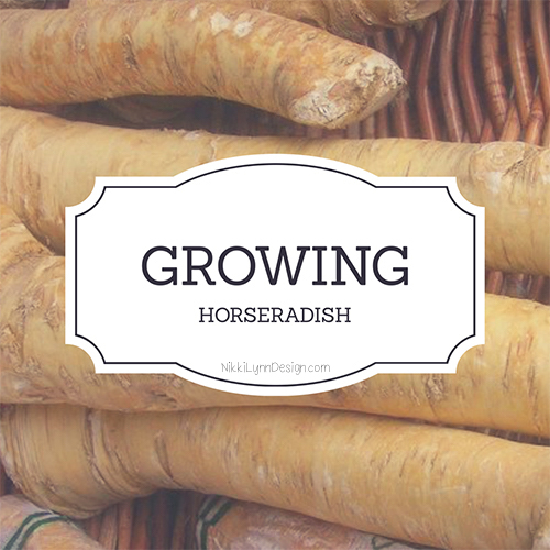 Digging Horseradish Roots for Winter
