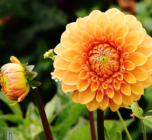 Storing Dahlias Over Winter