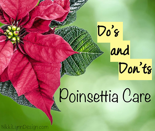 The do's and don'ts of poinsettia care. Keep your plant healthy and blooming throughout the Christmas season.