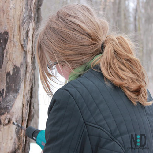 Maple Syrup Tapping Trees in Wisconsin