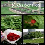 Starting and Maintaining a Raspberry Patch