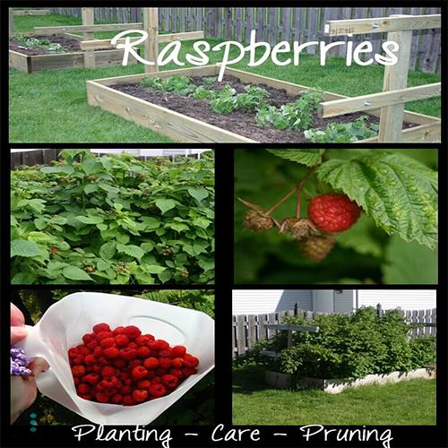Planting, Care, Pruning of Raspberries