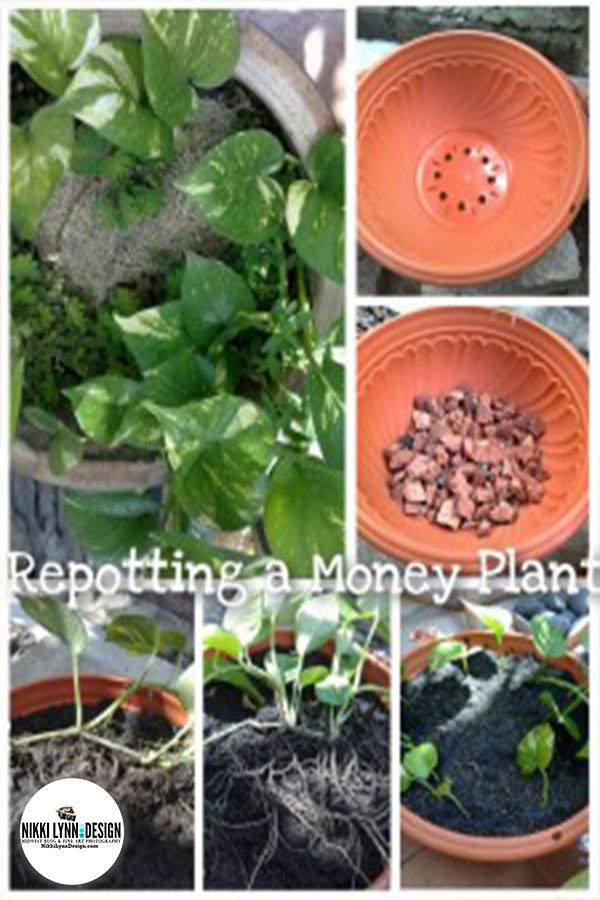 Repotting a Money Tree Plant