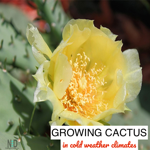 Growing cactus outdoors in cold weather climates