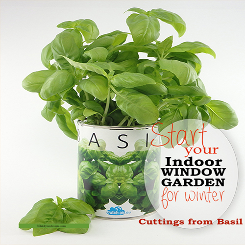 Growing Basil From Cuttings