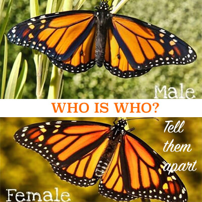 How to Tell Male and Female Monarch Apart