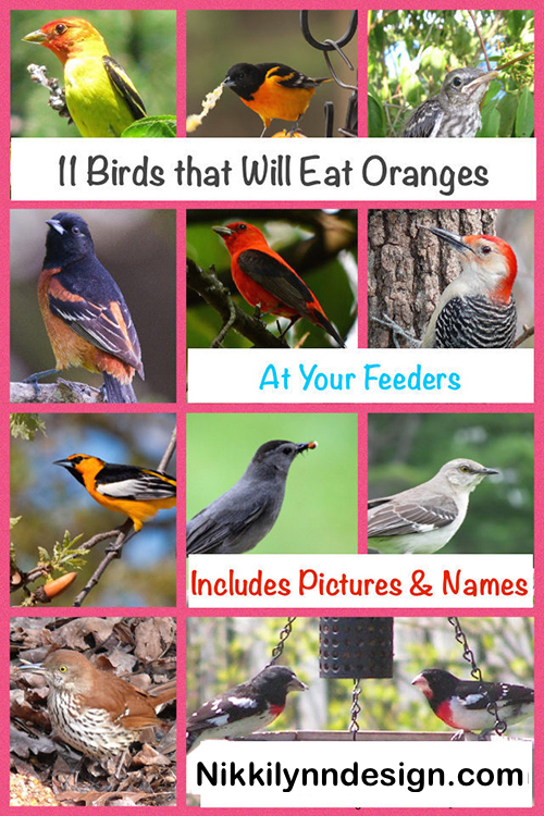 11 Birds That Eat Oranges at Your Feeders