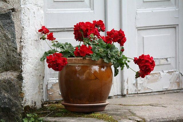 winter-storage_for_geraniums