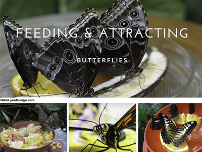 Feeding and Attracting Butterflies