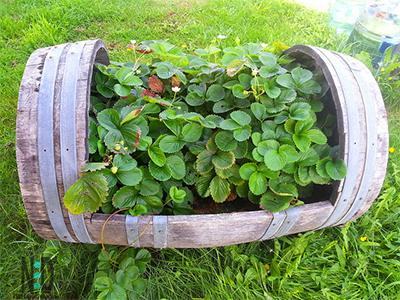 Strawberry Whisky Barrel Planter