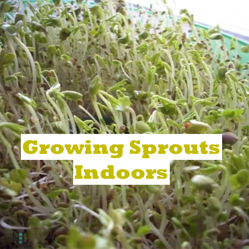 Growing Sprouts Indoors