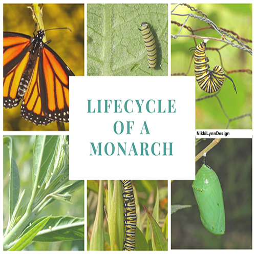 Monarch butterflies go through four stages during one life cycle, and through four generations in one year.