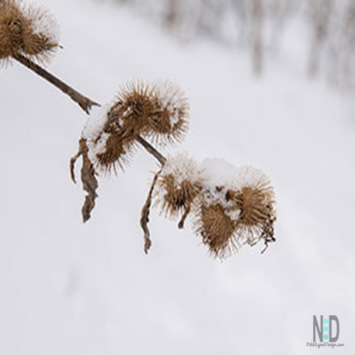 This hitchhiking burdock is the reason we have VELCRO today. A Swiss inventor in the 1940's studied the burdocks hook system under the microscope. The burdock had attached themselves to his clothes and his dog's fur while walking in the woods.