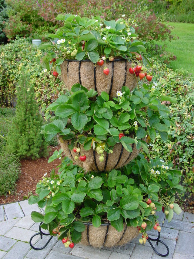 Grow Strawberries on Your Deck