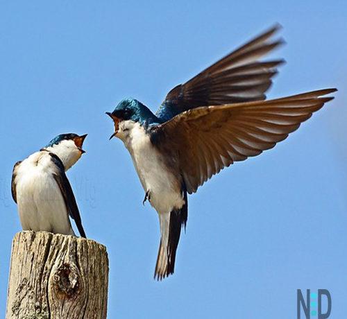 Tree Swallow Bird Swallows