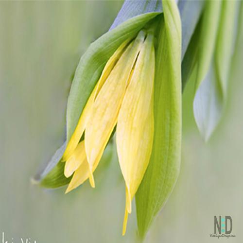 Yellow Bell Wildflower