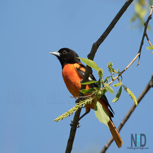 All About the Baltimore Oriole
