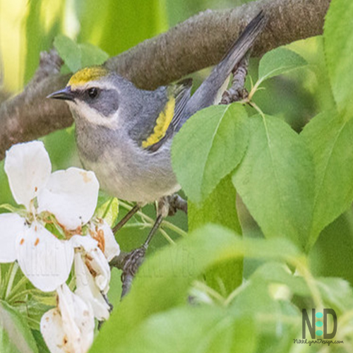 Warblers in Wisconsin