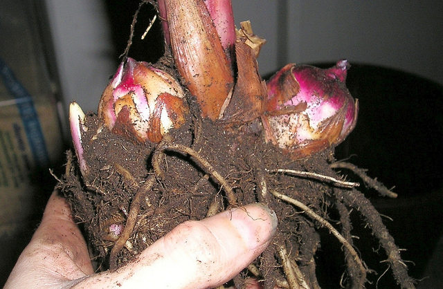 Storing Canna Plant Bulbs For Winter