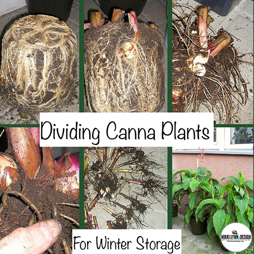 Digging Up Canna Bulbs & Dividing