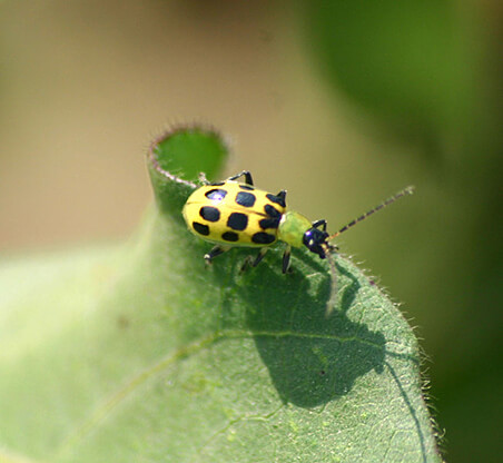 Cucumber Beetles How to Get Rid of Them - Spotted Cucumber Beetle