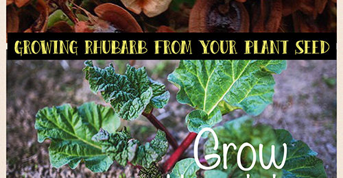 Grow Rhubarb From Seed - Collect seeds from your own plants.