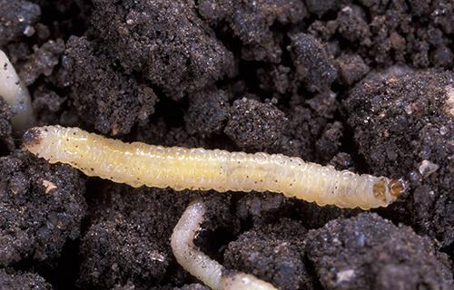 diabrotica_virgifera_virgifera_larvae