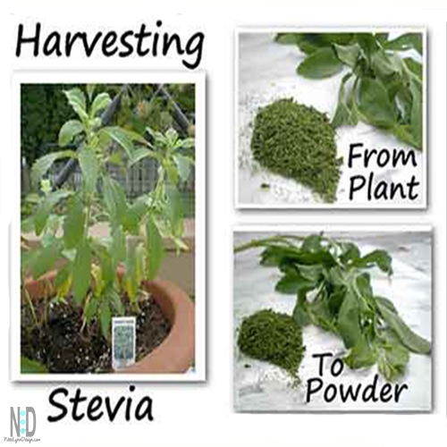 Grow Harvest and Dry Your Own Stevia