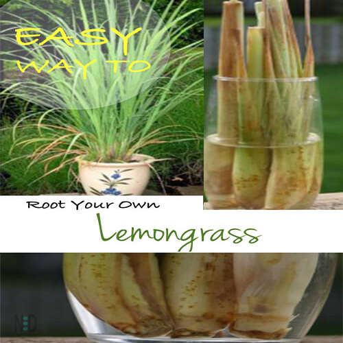 Growing Lemon Grass