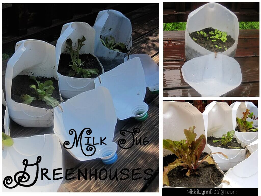 Milk Jug Greenhouses It is easy to save your milk jugs over the year. I use milk jugs for two reasons in gardening. One is they make excellent mini greenhouses. Secondly, in a pinch, you can cut off the bottom and use the top as a funnel.