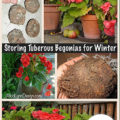 Storing Tuberous Begonia Flowers for Winter