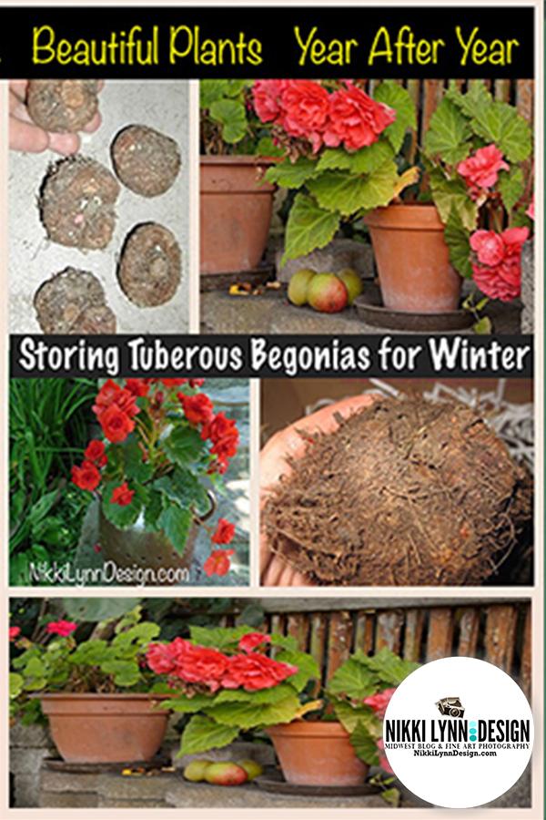 Storing Tuberous Begonia Flowers for Winter