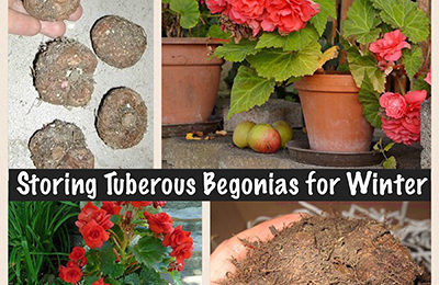 Storing Tuberous Begonia for Winter Did you believe you had to throw out your beautiful plants at the end of each season? Nope. Don't! I'll show you how easy storing tuberous begonia for winter really is.