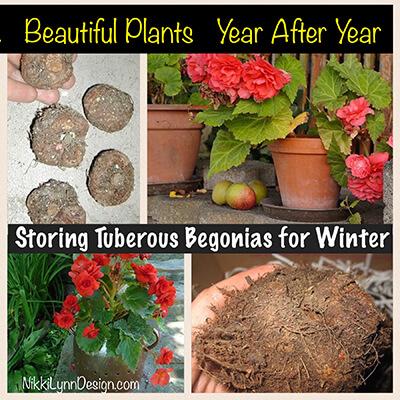 Storing Tuberous Begonia for Winter