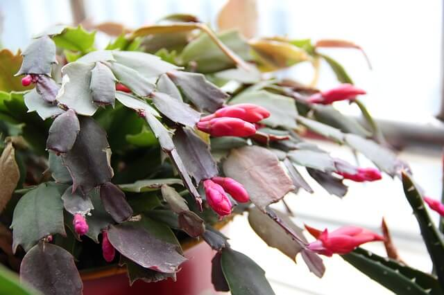 Christmas Cactus Not Blooming? Here is how to get it to bloom