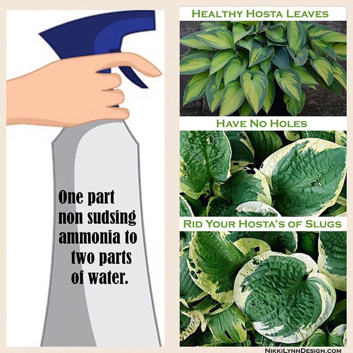 Slug Prevention Of Hostas Nikki Lynn Design