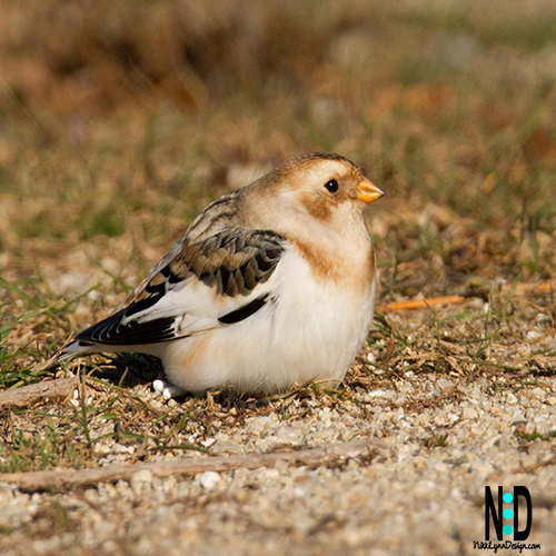 Snow Bunting Bird is a winter bird that only comes back in Wisconsin winters. It primary coloring markings are black, a peach coloring, white breast with yellow orange beak with a black tip.
