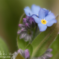 Forget Me Not Wildflower- Wisconsin wildflower is a perennial wildflower that is most often found in woodland gardens, along creek beds or in wetland areas with rich soil. They will tolerate sun and shade but like damp soil.