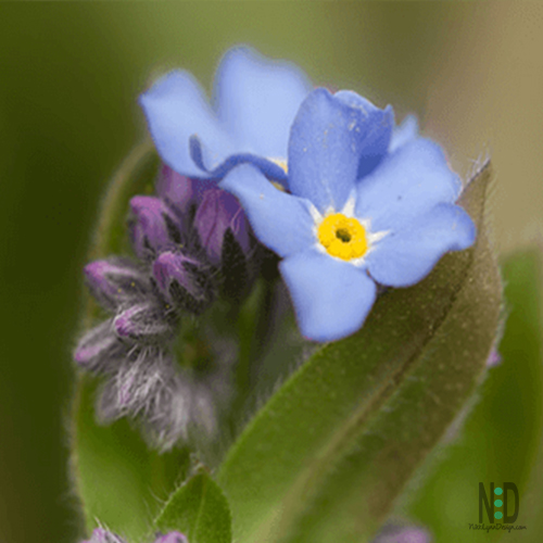 The forget me not wildflower is a perennial wildflower that is most often found in woodland gardens, along creek beds or in wetland areas with rich soil.  The will tolerate sun and shade but like damp soil.