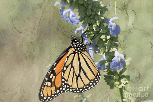 Wisconsin Fall Monarch Migration