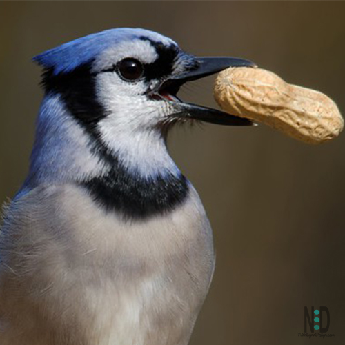All About the Blue Jays