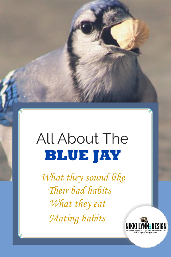 All about the blue jay
