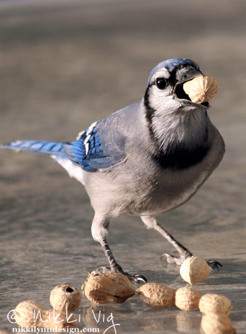 Information about Blue Jays. What blue jays eat, where & how they build nests, how long until eggs hatch, mating & migration. Photo Prints available