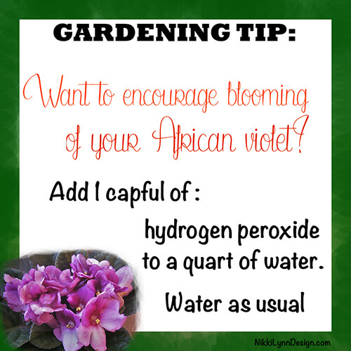 What to encourage your African violet to bloom?